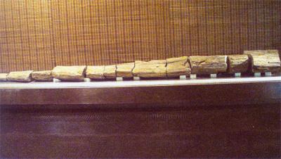 5米长的硅化木