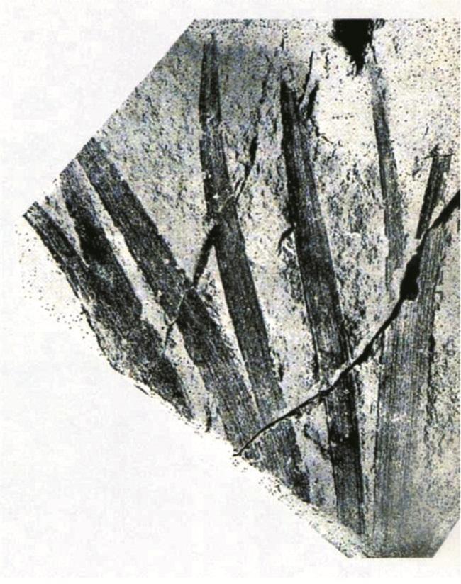 植物化石标本