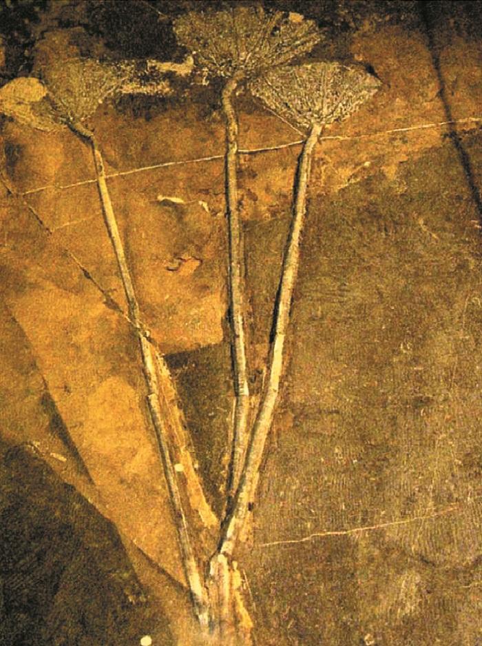 根部附着炭化碎屑的海百合化石